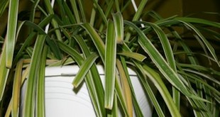 spider houseplant