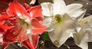 Christmas Amaryllis–When and How to Plant